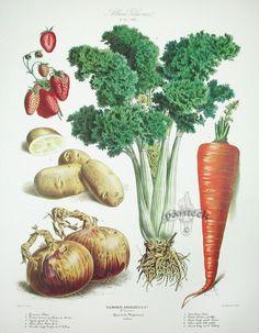 "Album Vilmorin ""The Vegetable Garden"" /Les Plantes potagères The French companyVilmorin-Andrieux & Ciearose in the 18th century from the collaboration between Philippe Victoire de Vilmorin ..."