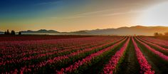 Morning Glow in the Tulip Fields - Skagit County, Washington has some of the most beautiful tulip fields in the U.S.A...  With the mountains in the background, and the flower fields in the foreground, how could a photographer not get an incredible image...?  www.loupho.com