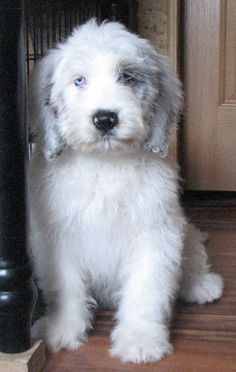 Look at that face!! I want! Miniature Saint Berdoodle