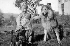 Australian Collie, 1950s-60s. Scotch Collie, Sheltie, Livestock, 1950s