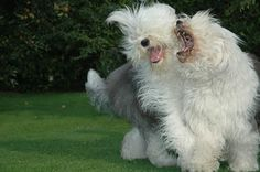 Mom and daughter #Old English sheepdog.