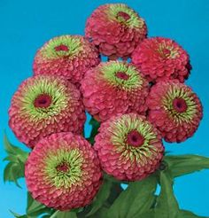 Zinnia Seeds from around the world in Retail Packs