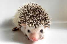 Hoglet at 3 weeks Wild Animals, Baby Animals, Cute Animals, Baby Hedgehogs, Happy Hedgehog, 3 Weeks, Mammals, Lily, Creatures