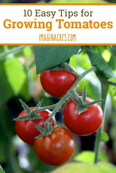 10 Easy Tips for Growing Tomatoes: There's no need to stress about growing tomatoes, and with these tips at your, well, fingertips, you'll never struggle with your plants again.