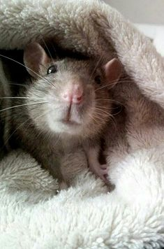 for the love of rats Hamsters, Rodents, Beautiful Creatures, Animals Beautiful, Animals And Pets, Cute Animals, Strange Animals, Dumbo Rat, Fancy Rat