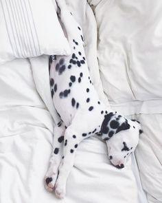 @viljodalmatian #dalmatian #dalmatianpuppy #puppy #dalmatiandog