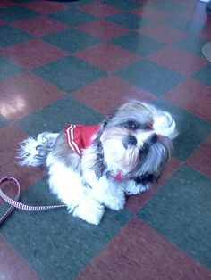 ☆Sophie at the Hairdresser doing the Tzu head tilt☆