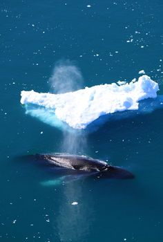 size of a humpback in relation to an iceberg