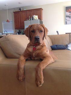 Fox Red Lab Pup... Soo creepy looks like my dog maverick