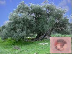 L'olivier des poètes