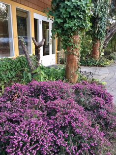 Masses of heather in Spring along the path to the Inn suites. #Spring #galianoisland #galianoinnspa #gardens #flowers #galiano