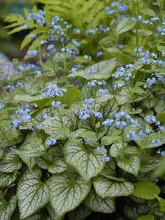 Silver and Blue in Early Spring Shade The Brunnera 'Jack Frost', 'Brunnera macrophylla' has frosty silver leaves that offer a brilliant backdrop to the small clusters of bright blue flowers that appear in earliest spring. It adds hard-to-find col Shade Flowers, Bulb Flowers, Tiny Flowers, Real Flowers, Evergreen Nursery, Shade Garden Plants, Ground Cover Plants, Heuchera, Shade Perennials