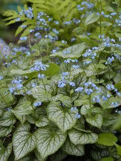 """Brunerra macrophylla """"Jack Frost"""""""