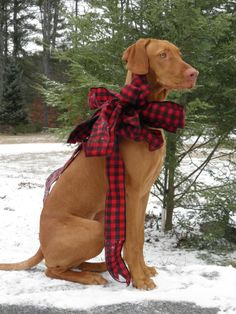 Vizsla Wallpaper Pictures And Shadows On Pinterest
