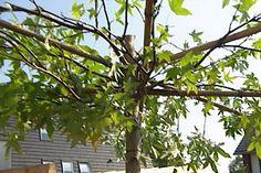 Amberboom - dakboom | Eigen Huis & Tuin