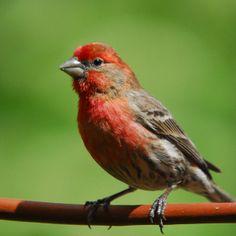 Saw the first one at Bob's softball game in NE. List Of Birds, All Birds, George Bernard, Bernard Shaw, Egg Nest, Finches, Life List, Linnet, July 14