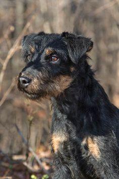Akc Dog Breeds, Terrier Breeds, Terrier Mix Dogs, Terriers, Mini Doberman, Doberman Mix, Patterdale Terrier, Irish Terrier, Maltese Dogs