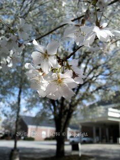 Cherry blossoms in downtown Powder Springs, Georgia.
