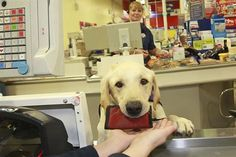 Meet Byron, a labrador who does the chores, because his owner Kate Cross, suffers from Ehlers Danlos syndrome -- a condition where the joints are so weak that can dislocate a shoulder from just opening a door. Byron helps her do all her chores from washing dishes to taking out money from the ATM and grocery shopping!  Byron was trained by Sussex-based charity Canine Partners - who have matched hundreds of assistance dogs to people who really need their help.