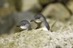 See the world's smallest penguins, in their natural environment. Penguins began nesting in a rock quarry at the edge of Oamaru Harbour in the early Today, it's Oamaru's largest tourist attraction. Weather In New Zealand, Road Trip New Zealand, New Zealand Beach, New Zealand Food, New Zealand Adventure, New Zealand Houses, Visit New Zealand, New Zealand South Island, New Zealand Wildlife