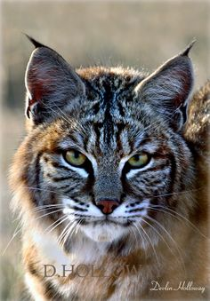 A Serious gaze in the eyes of the high desert bobcat. # 298 A Serious gaze in the eyes of the high desert bobcat. Desert Animals, Nature Animals, Animals And Pets, Funny Animals, Rare Cats, Exotic Cats, Bobcat Pictures, Animal Pictures, Kittens Cutest