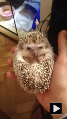 Cutest baby hedgehog waking up in owner's hand.