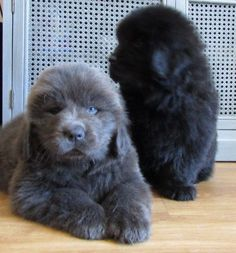 Newfoundland Dog Puppies For Sale Cute Dogs And Puppies, Big Dogs, Puppies For Sale, Doggies, Terranova Dog, Fluffy Dogs, Fluffy Dog Breeds, Newfoundland Puppies, Big Dog Breeds