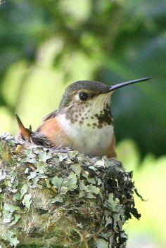 Hummingbird at Reifel   Flickr - Photo Sharing!