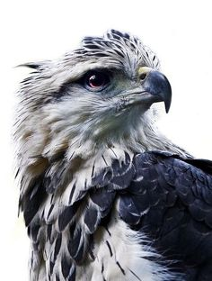 """The Crowned Eagle (Harpyhaliaetus Coronatus). """"Our emblem is the eagle, which soars where others cannot climb."""" -Ravenclaw"""