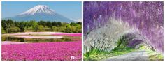 Kawaki Fuji, and Hitsujiyama gardens during the phlox, and wisteria blossom season. 30 Places to Visit Before You Kick the Bucket