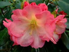 Rhododendrons 54
