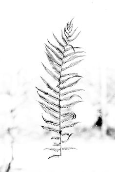 Black and white nature photograph of a fern leaf. Available as poster at printler.com, the marketplace for photo art. Photographer Erika Olofsson