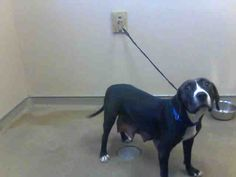*DOVEY - ID#A693065    Shelter staff named me DOVEY.    I am a female, black and white Pit Bull Terrier mix.    The shelter staff think I am about 1 year and 6 months old.    I have been at the shelter since Jan 08, 2013.