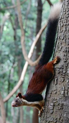 Funny Wildlife, funnywildlife: ayustar: Malabar giant squirrel