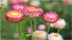 Pink Summer Flowers 4K Wallpaper | pink summer flowers 4k wallpaper 1080p, pink summer flowers 4k wallpaper desktop, pink summer flowers 4k wallpaper hd, pink summer flowers 4k wallpaper iphone
