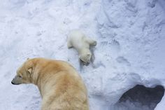 Loving Polar Bear Mama Playing With Her Baby In Snow For The First Time | Bored Panda