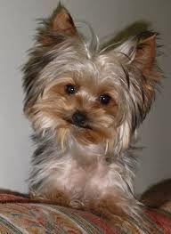yorkshire cachorro - Qué carita...