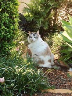 White Fluffy Cat Cassie in the Garden