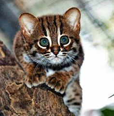 Rusty-spotted cat, the world's smallest wild cat....   Scha's gonna want one!