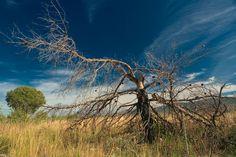 Burned pine in Croatian high-mountain steppe