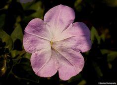 Pink glowing flower - Ajaytao