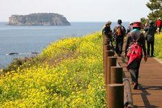 서귀포 유채꽃 국제걷기대회 / Jeju Rape blossoms Walking Festival