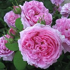 Rosa 'Compte de Chambord'