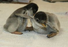 Now, look at these two penguins. | This Year's 45 Most Lovable Baby Animal Pictures