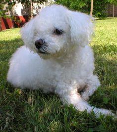 Muki 2002 - Bichon Bolognese / Boloňský psík