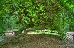 Faux de Verzy trees (France): very interesting and funky looking trees.