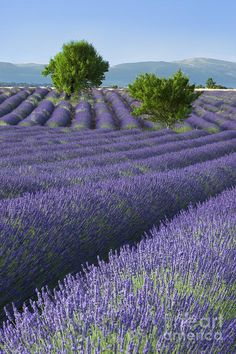 Converging Lavender Fields Photograph