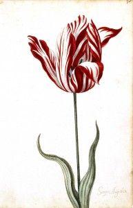 Botanical - Flower - Tulip - 17th Century