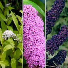 Buddleia+Collection+-+3+Potted+Plants+$0.00