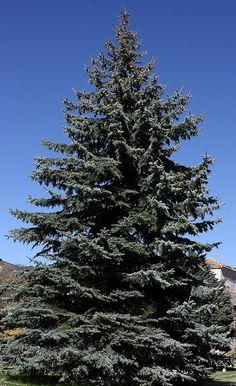 El majestuoso pino azul.... simbolo de la inmortalidad y la vida jardín#boda#burgos#